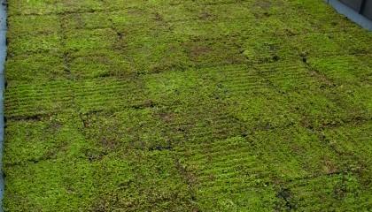 Toiture végétalisée - végétalisation extensive - fin des travaux